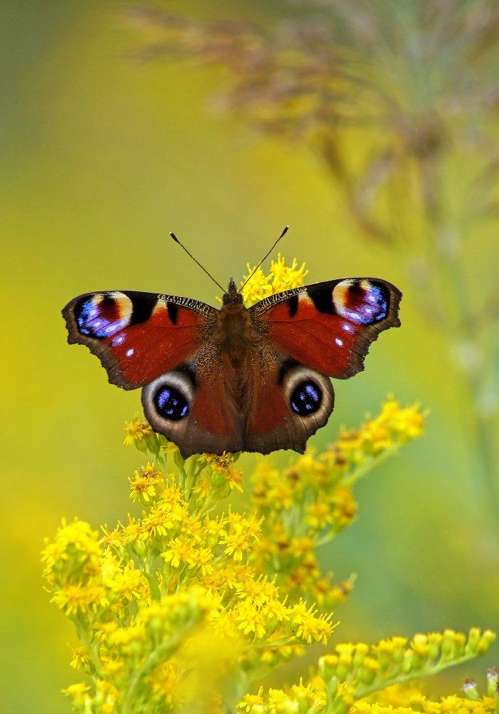 Бабочка, Чепленко Алексей