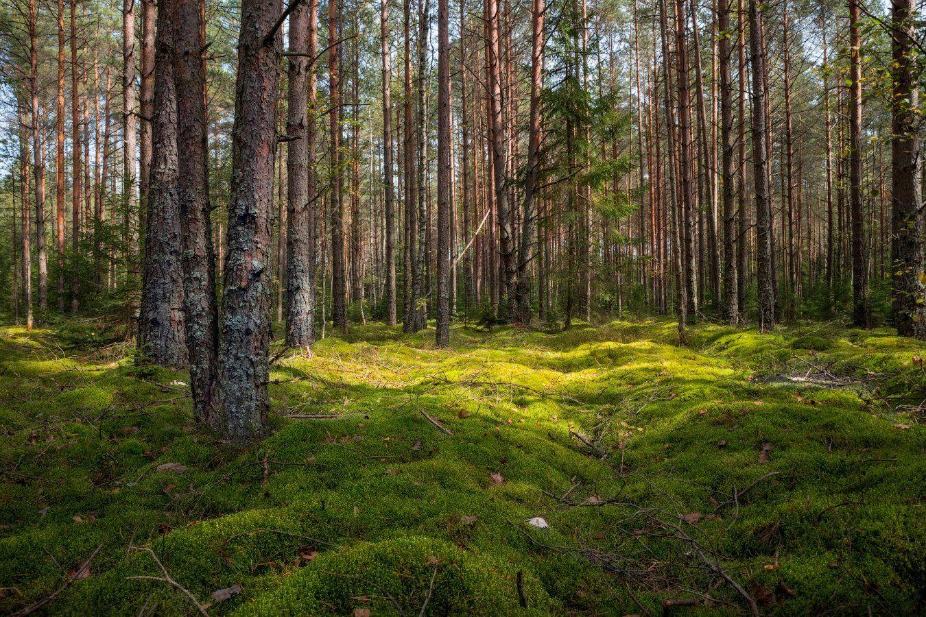 осень, лес,мох, деревья,, Сергей Шабуневич