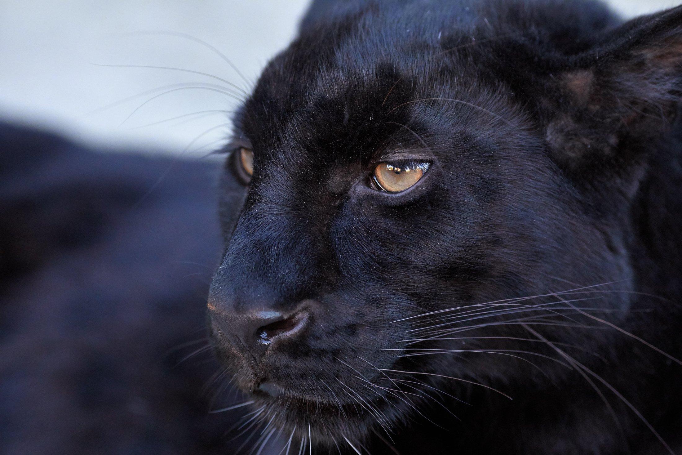 леопард, Олег Богданов
