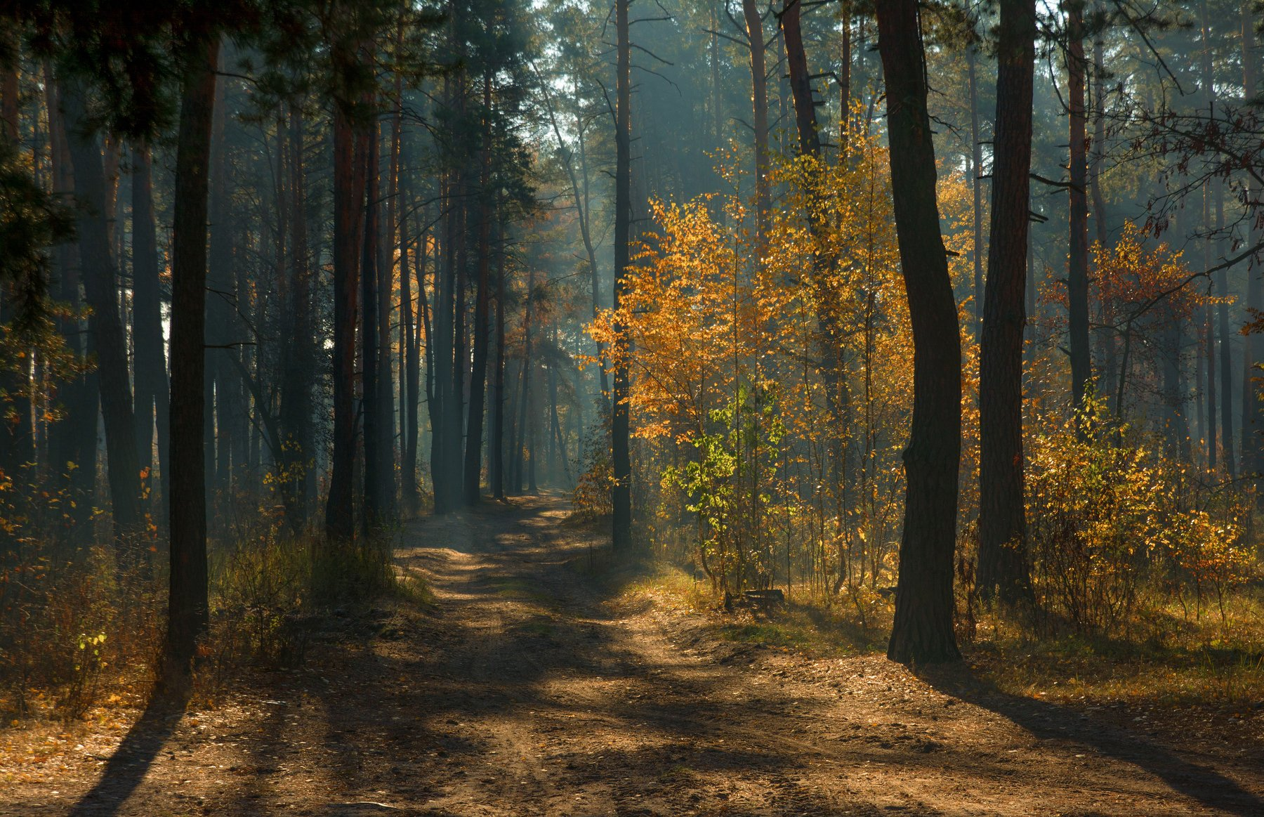 landscape, пейзаж, утро, лес, сосны, деревья, солнечный свет, солнечные лучи, солнце, природа, тропинка, прогулка, осень, Михаил MSH