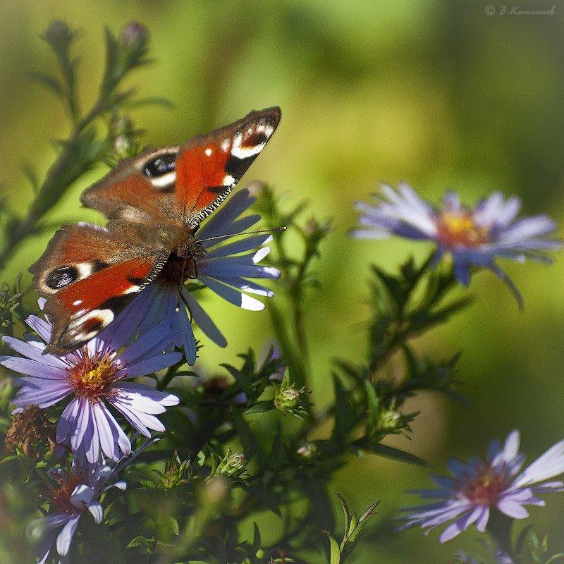 природа, насекомые, бабочки, лето, Владимир Комышев