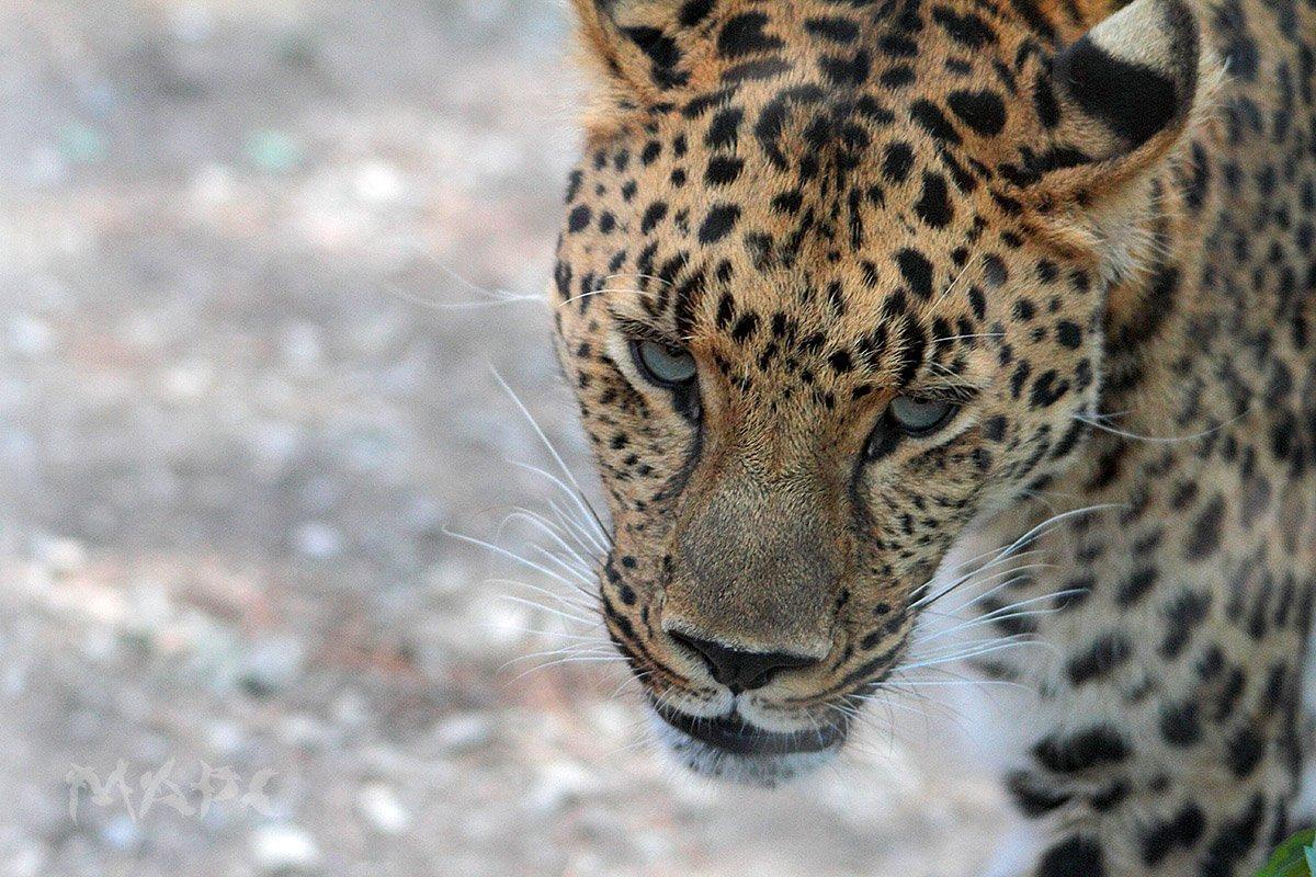животные леопард хищник сафари парк, Шангареев Марс