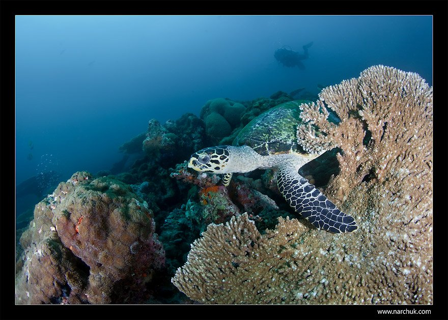 sea turtle, coral,reef,diving,diver,turtle,narchuk, Нарчук Андрей