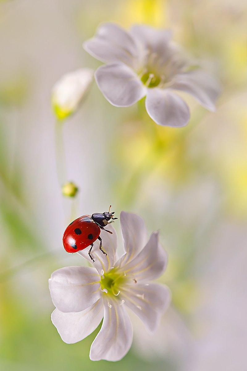 макро, насекомое, божья коровка, жук, природа, цветы, Елена Соловьёва