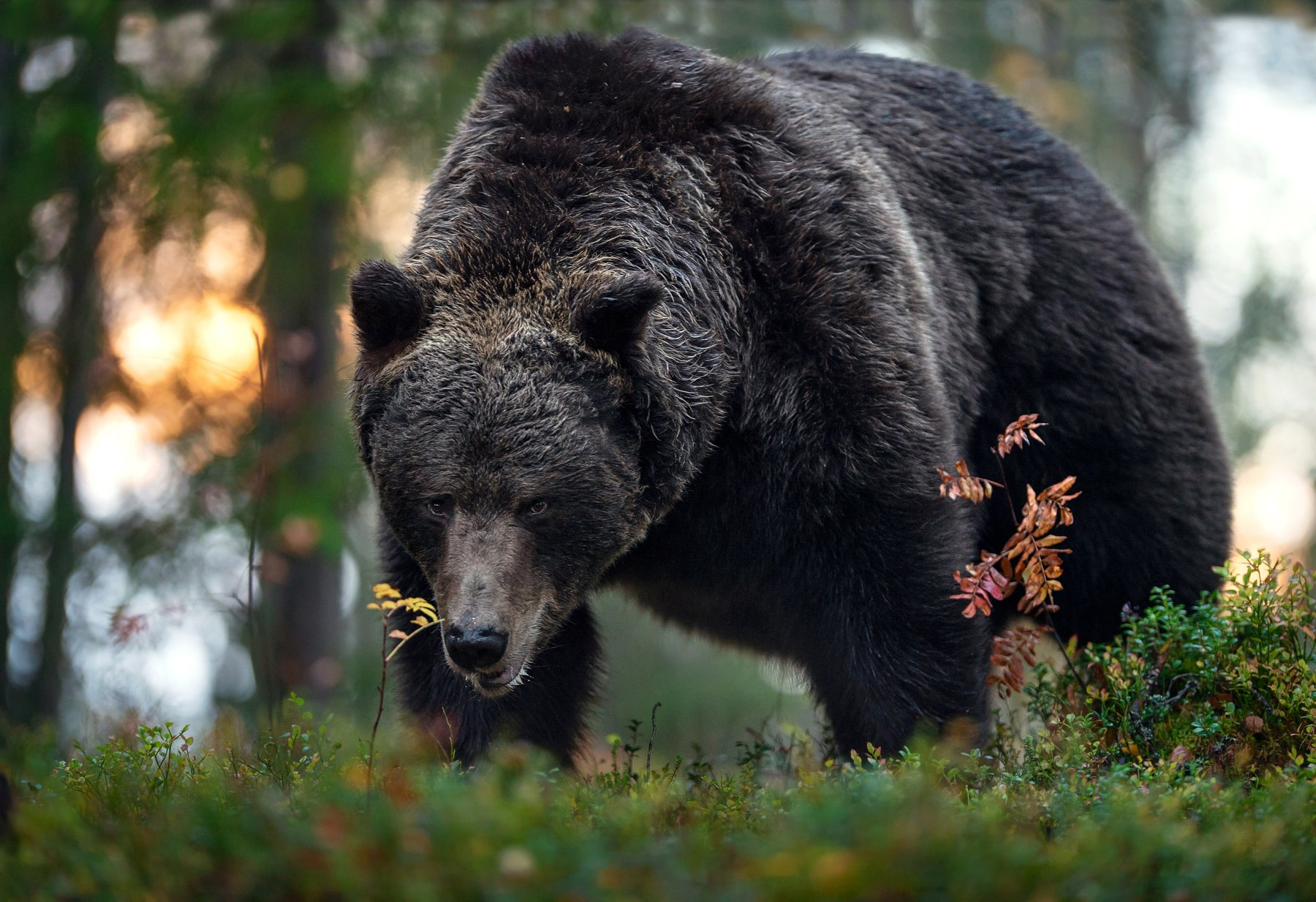 brown bear,, Сергей Урядников