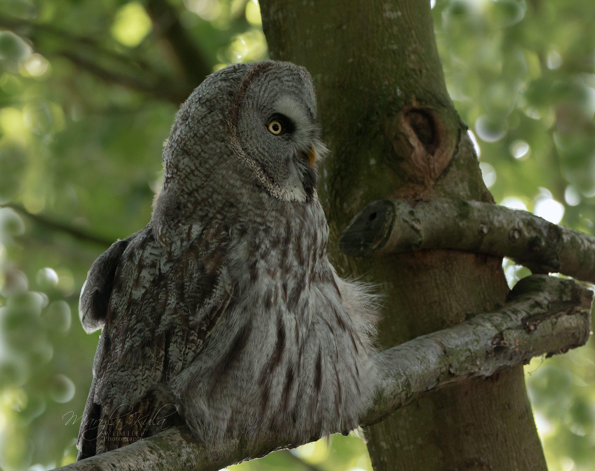 greatgreyowl, owl, birds, birds of prey, nature, wildlife, canon, sigma, MARIA KULA