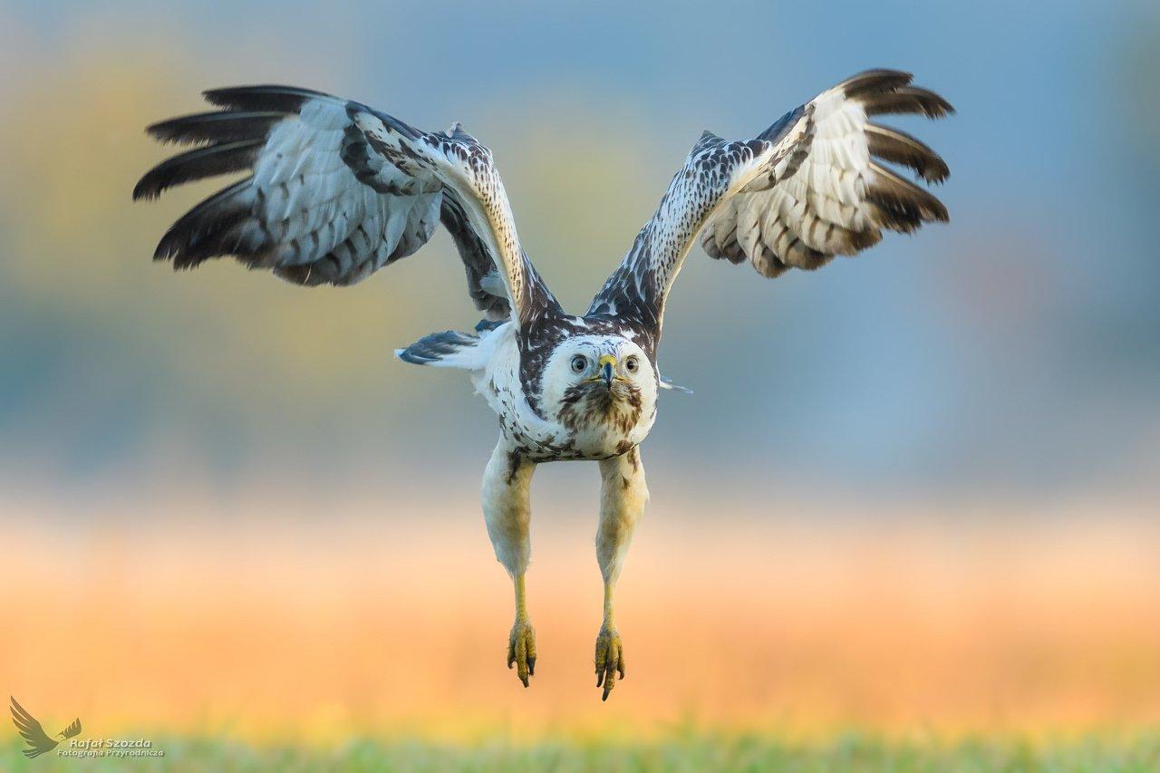 birds, nature, animals, wildlife, colors, autumn, flight, nikon, nikkor, lens, lubuskie, poland, Rafał Szozda