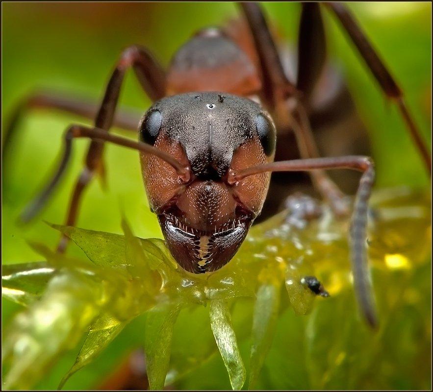 макро,муравей,фауна,, Евгений Кирилкин.