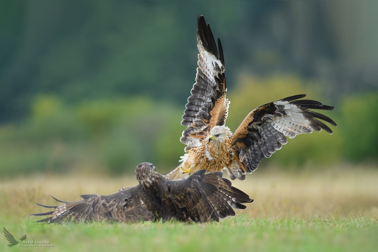 birds, nature, animals, wildlife, colors, fight, meadow, green, red kite, nikon, nikkor, lens, lubuskie, poland, aviation, wings, Rafał Szozda
