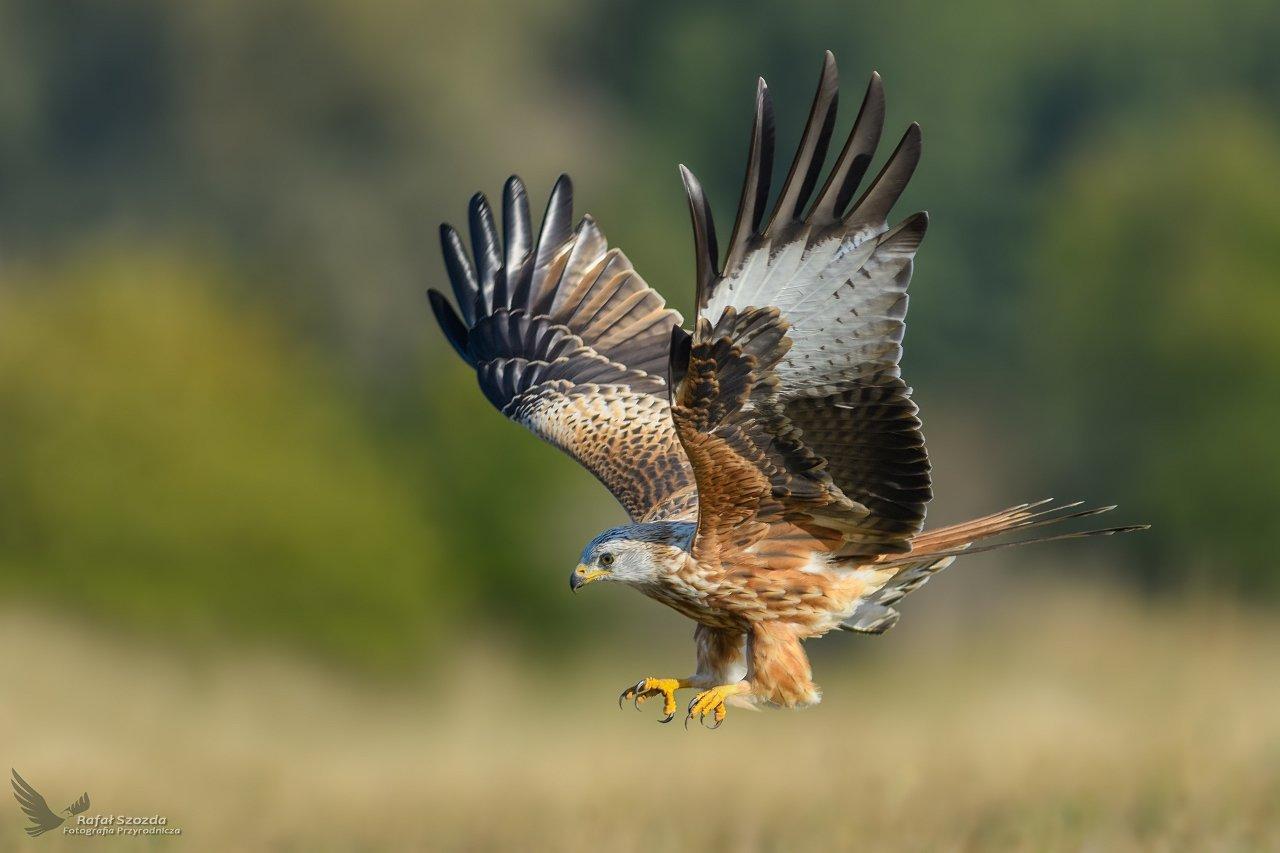 red kite, birds, nature, animals, wildlife, colors, meadow, wings, autumn, flight, nikon, nikkor, lens, lubuskie, poland, Rafał Szozda