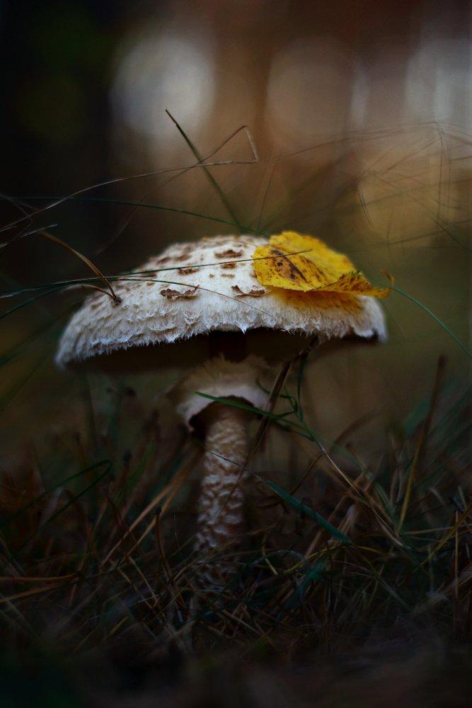 гриб зонтик осень утро лес, Петриченко Валерий