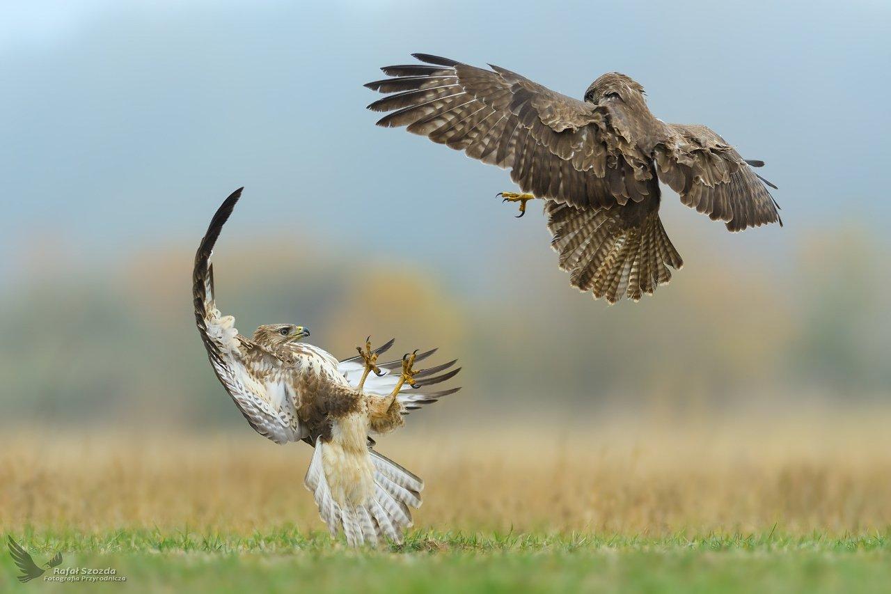 birds, nature, animals, wildlife, colors, meadow, autumn, fight, flight, green, wild, nikon, nikkor, lens, lubuskie, poland, Rafał Szozda