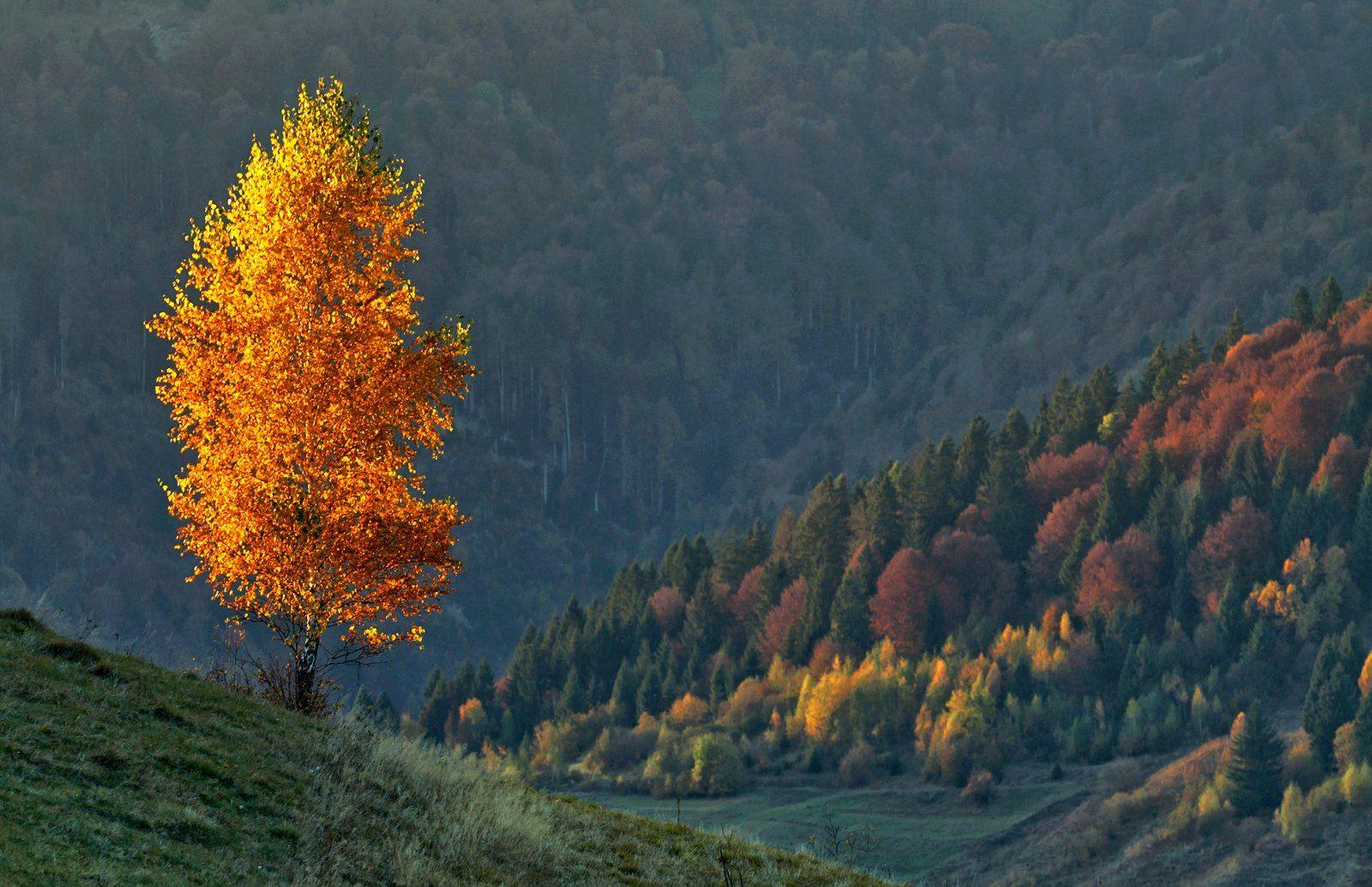карпаты,осень, утро, горы, берёза, Михаил Глаголев