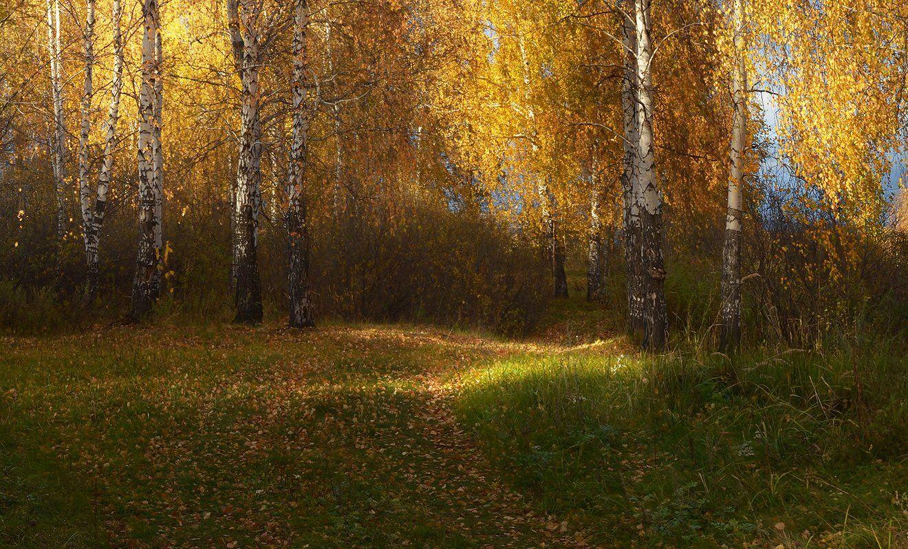 солнечный свет, тропинка, золотая осень, берёзы, Irina Shapronova