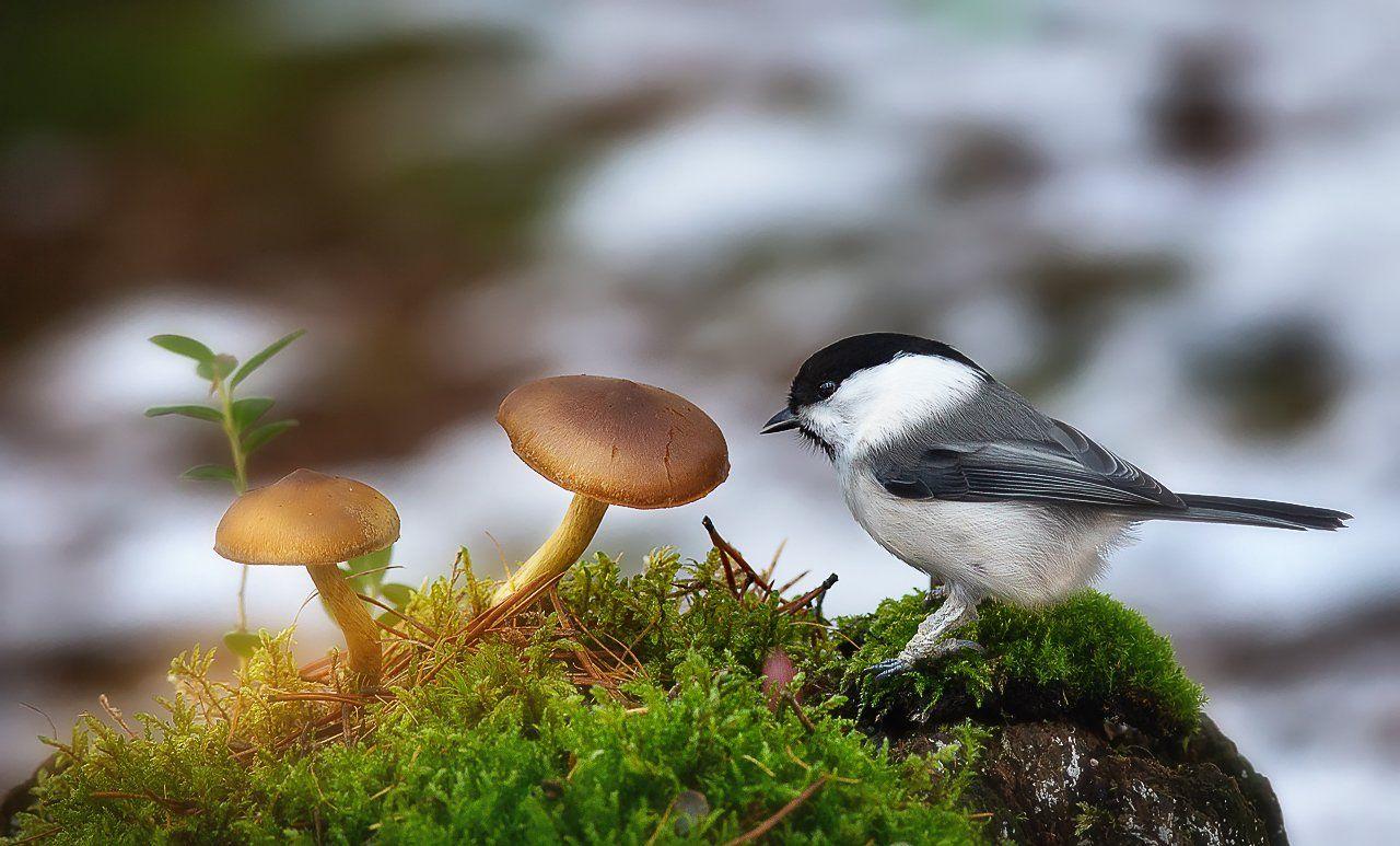 гаичка,птицы,анималистика,север,печора,коми,осень,грибы, Игорь Триер