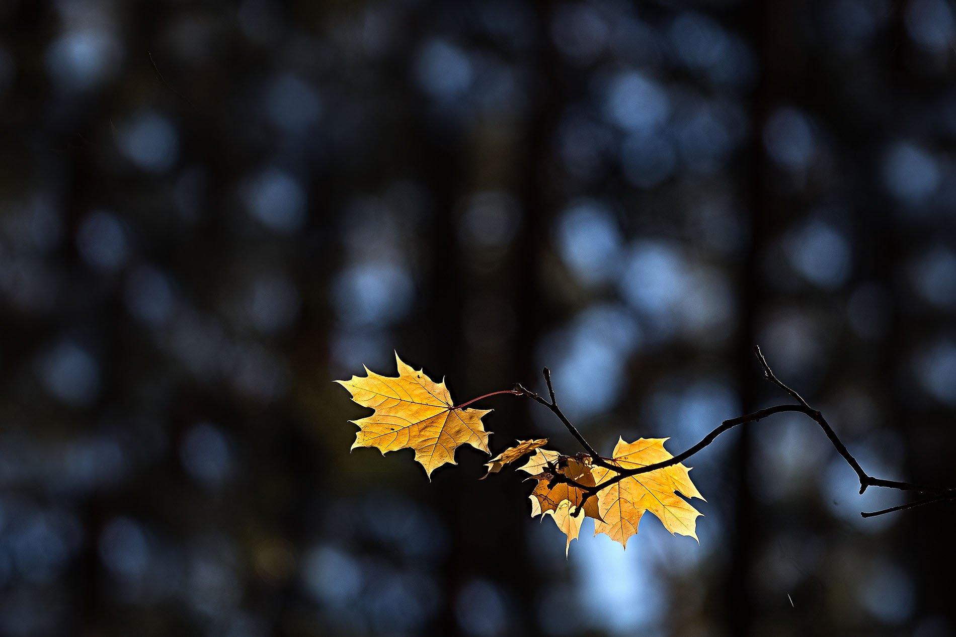 орск, осень, 2018, пейзаж, канадский клён, листья, лес, Качурин Алексей