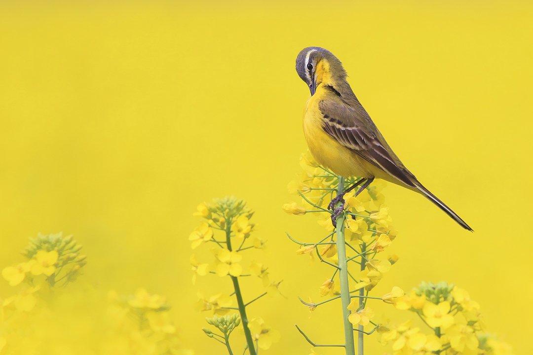 bird,yellow,wildlife,nature,color,beautiful,scene,fields,scenery,spring,wild,beauty,sunny,birds,natural, Piotr Górny