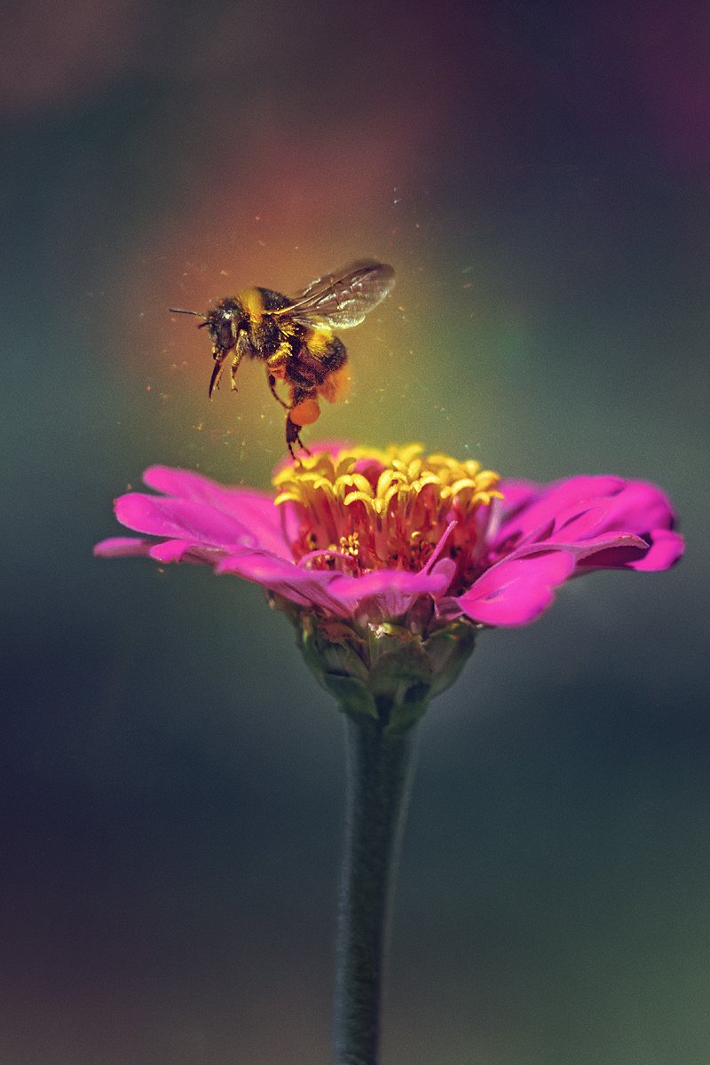 moment, момент, beautiful, красивый, wildlife, живая, nature, природа,  macro, макро,  manual lens, мануальная оптика, helios 44, гелиос 44, magic, волшебство, flower, цветок, pink, розовый,  wildlife, живая, insect, насекомое, bumblebee, шмель,, Наталья Терентьева (Nata_Smilyk)