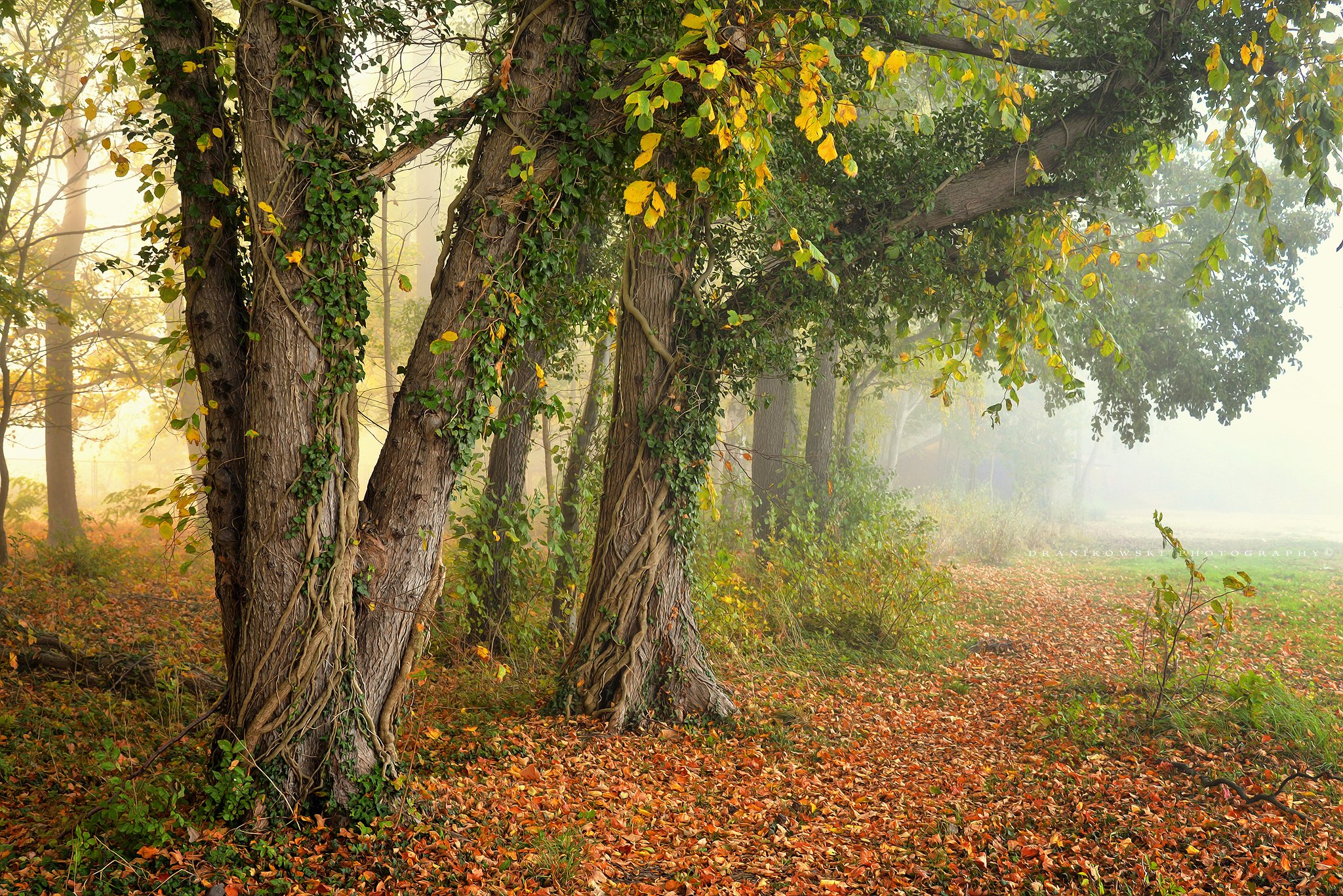 деревья trees autumn fall magic mist dranikowski drzewa fog jesien nikon, Radoslaw Dranikowski