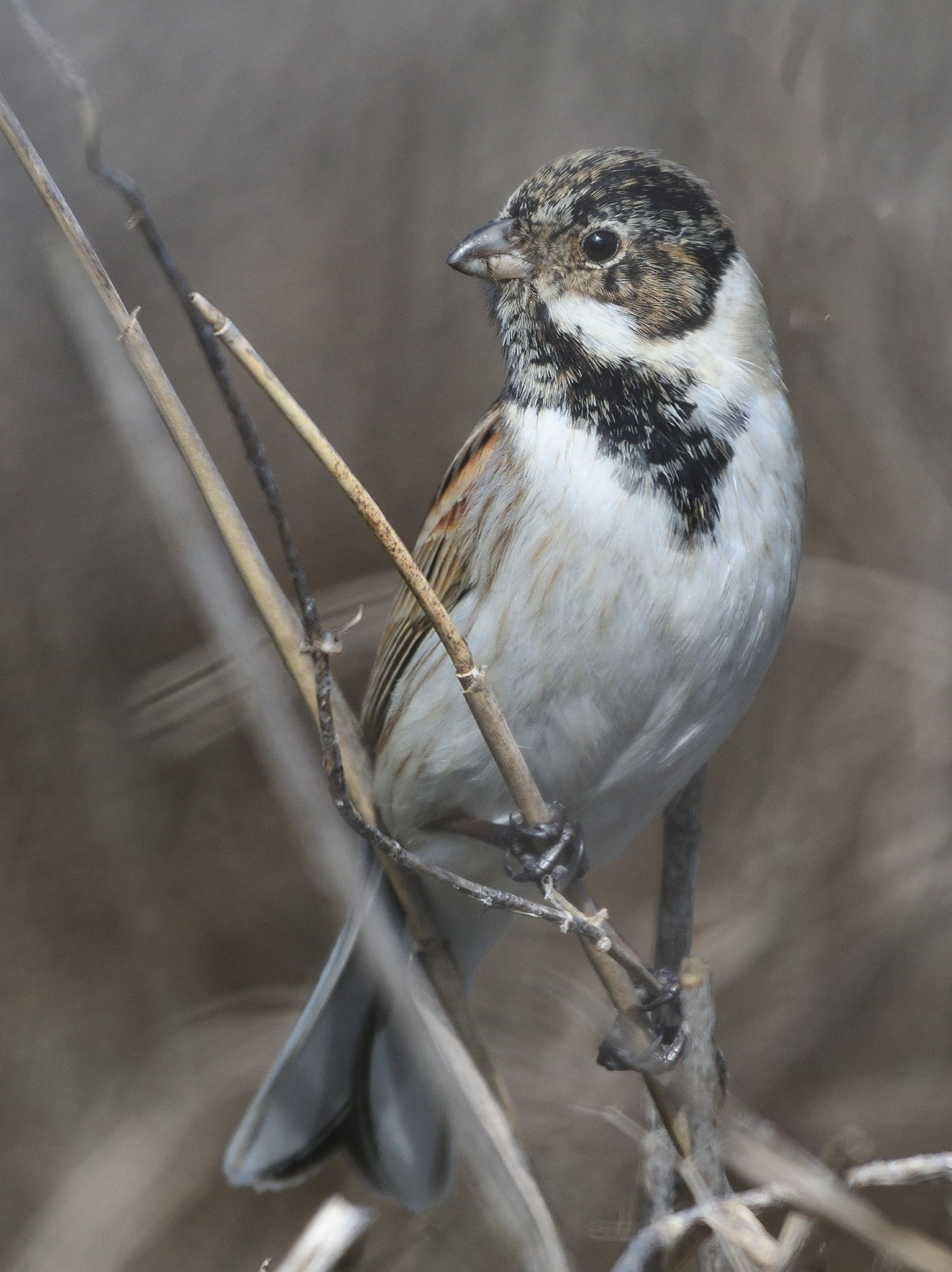 bird, bunting, feathers, wings, Димитър Русев