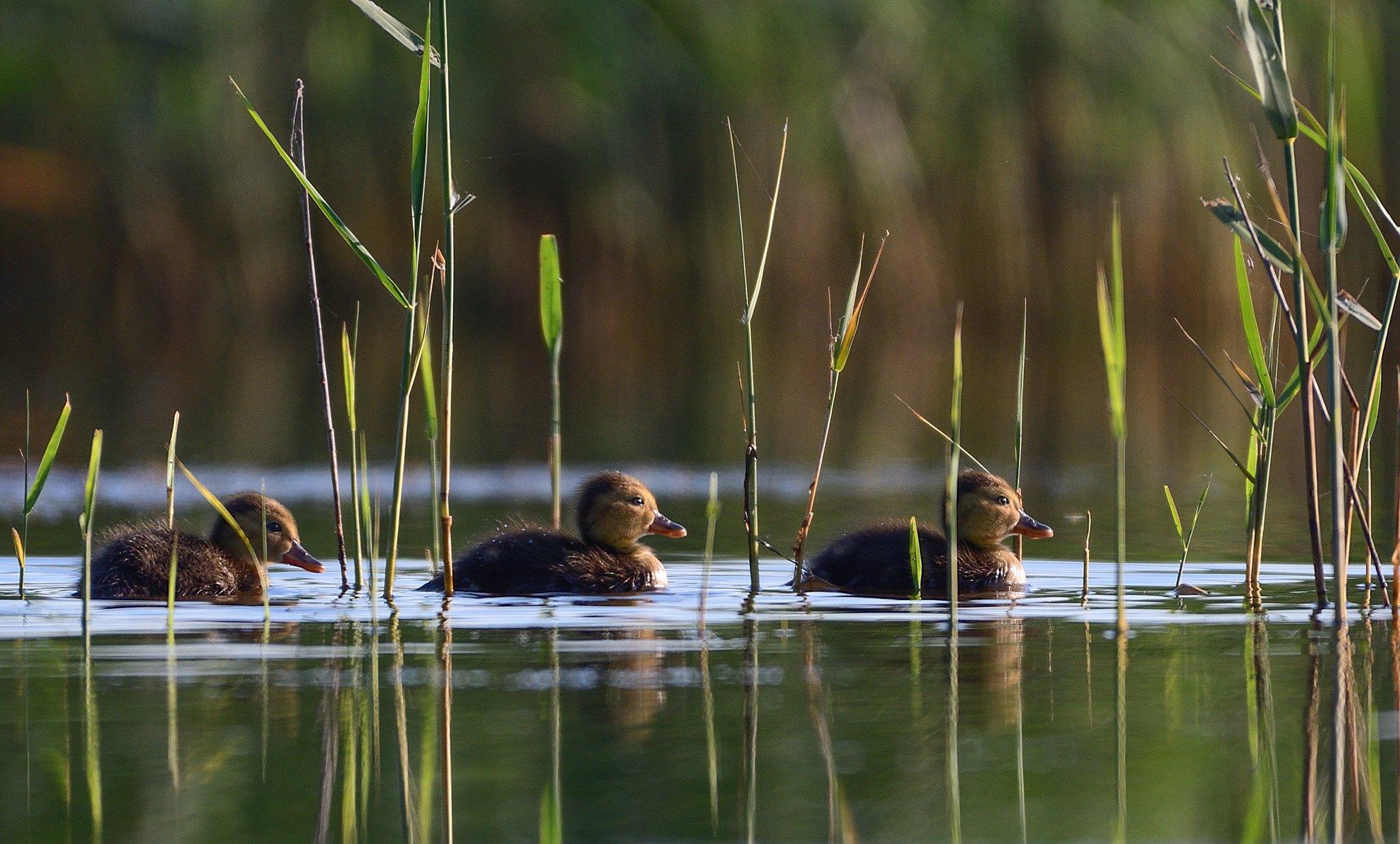 bird, duck, water, lake, reed, green, little, Димитър Русев