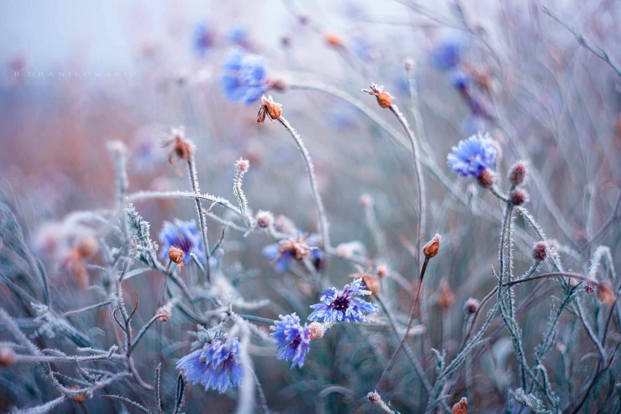 васильки centaurea cyanus cornflower blue flowers bokeh dranikowski macro m42 helios art, Radoslaw Dranikowski