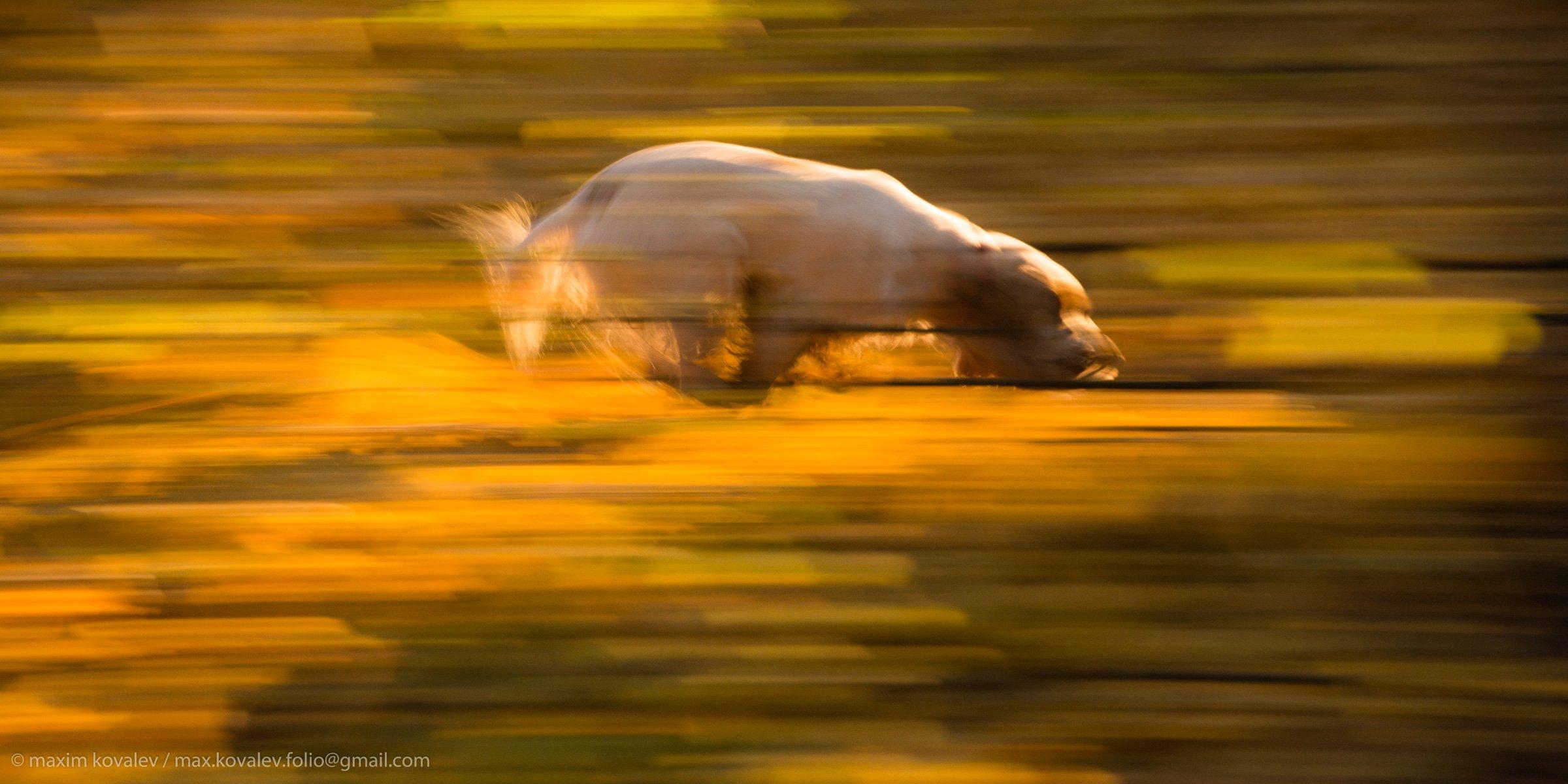 animal, autumn, dog, flight, foliage, leaf, leaves, morning, motion, nature, running, yellow, бег, движение, животное, жёлтый, лист, листва, листья, осень, парк, полёт, природа, пёс, собака, спаниель, утро, Максим Ковалёв