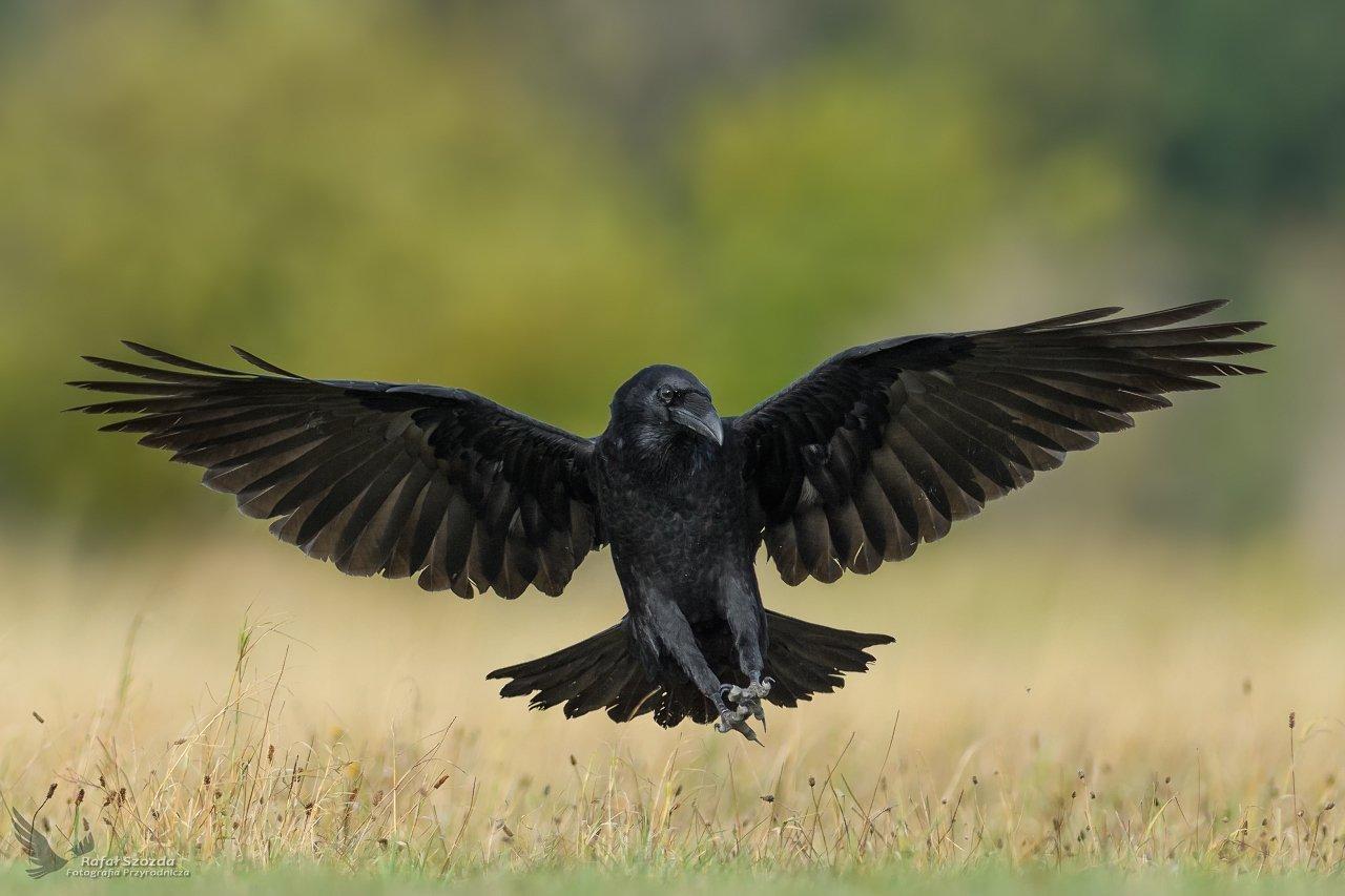 birds, nature, animals, wildlife, colors, meadow, nikon, nikkor, lens, lubuskie, aviaton, wings, Rafał