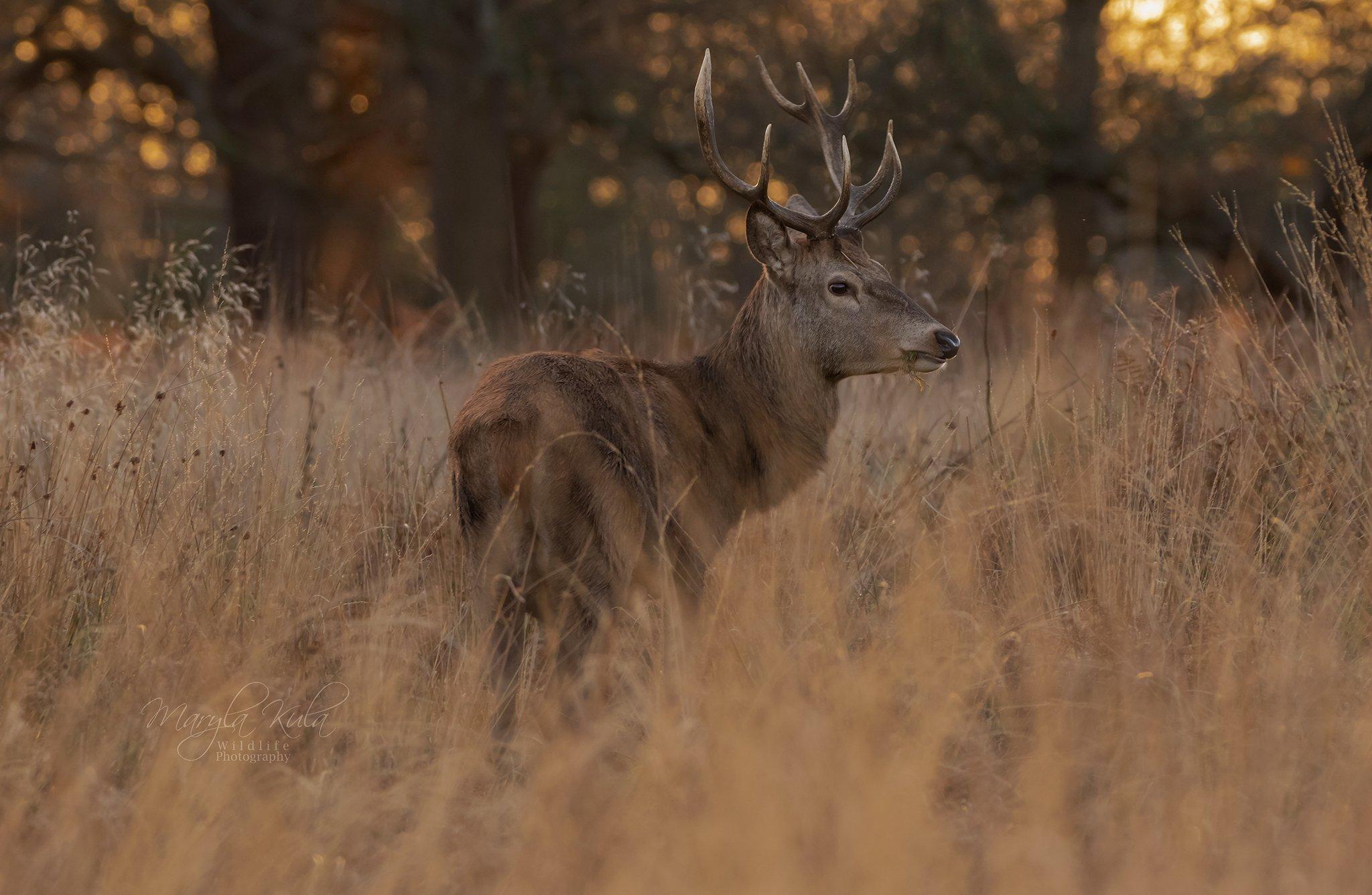 red deer, deer, nature, wildlife, woods, bracken, sunset, MARIA KULA