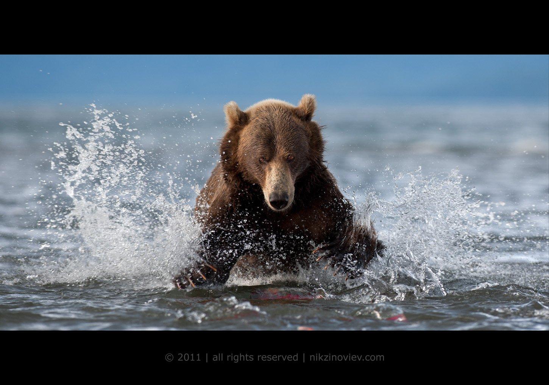 медведь, курильское озеро, камчатка, рыбалка, лосось, дикая природа, николай зиновьев, Николай Зиновьев