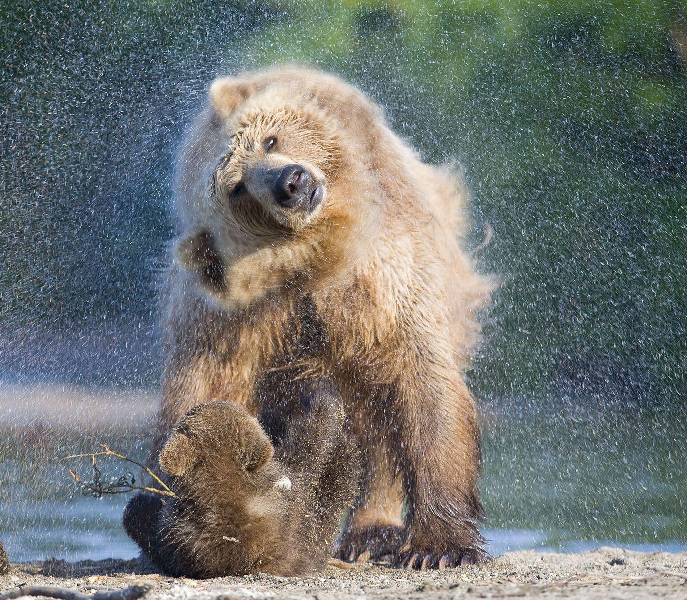 камчатка , южно-камчатский заказник , бурый медведь, сергей иванов,дикая природа, Сергей Иванов