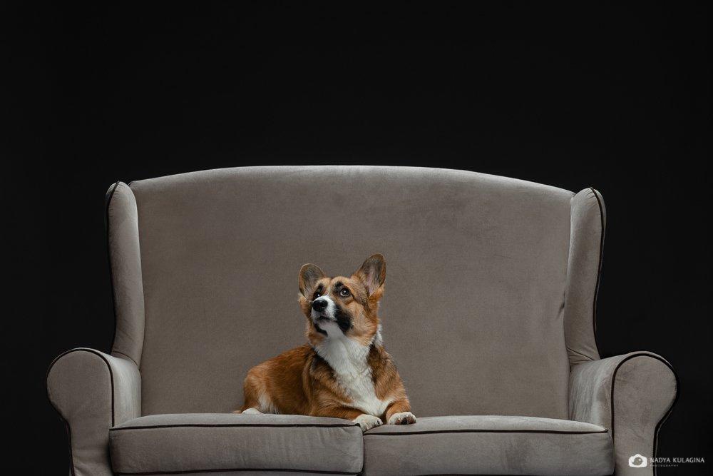 #animalphoto #dogphotography #bestphoto #welshcorgipembroke #dogportrait #portrait #dog #petphotography #pet_photography #studio #studio_pet_photography #studiopetphotography, nadeika