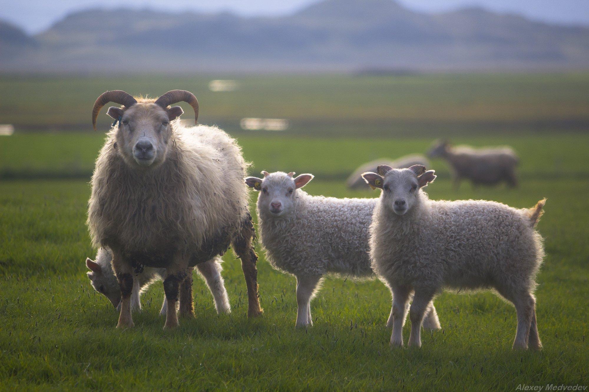 исландия, овцы, животные, Алексей Медведев