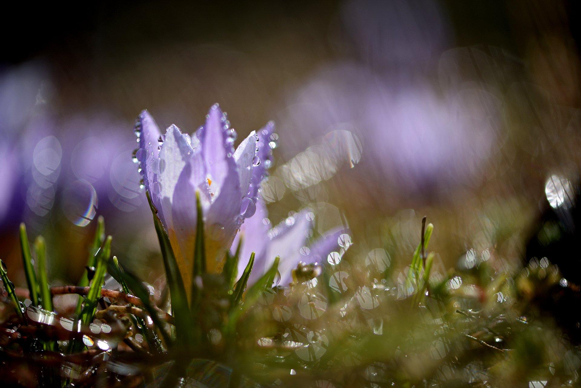 природа, макро, весна, цветы, крокус, капли дождя, боке, Неля Рачкова