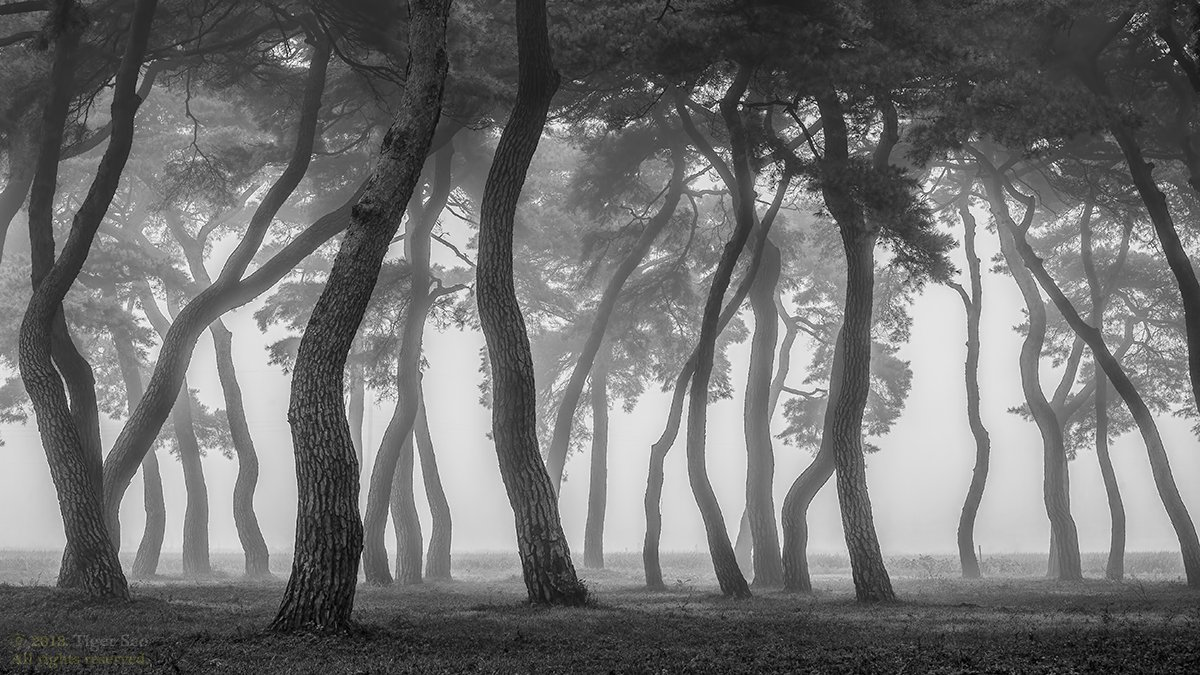 pine_tree tree for foggy morning old long time landscape , Tiger Seo