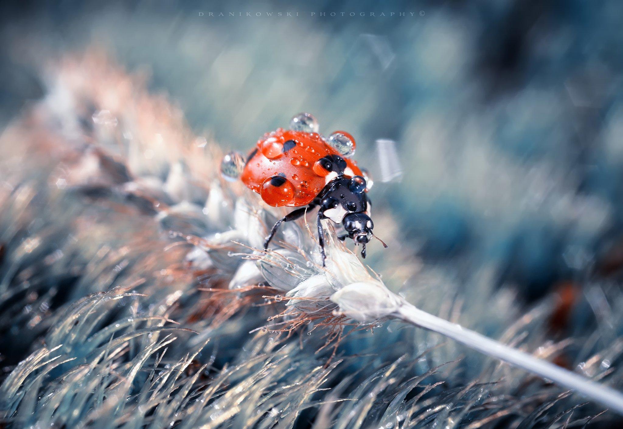 after rain ladybug ladybird macro volna dranikowski biedronka божья коровка water drops, Radoslaw Dranikowski