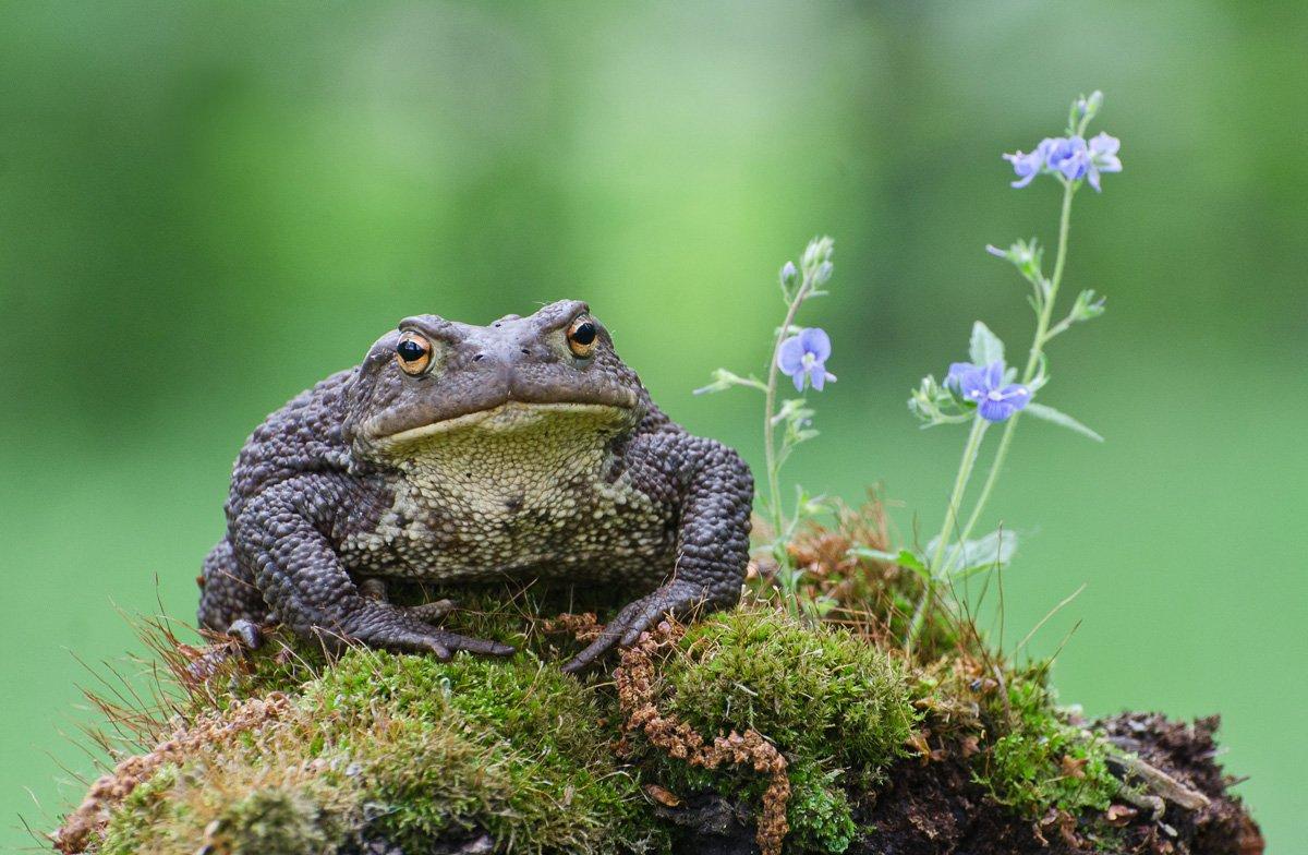 серая жаба, Михаил Агеев
