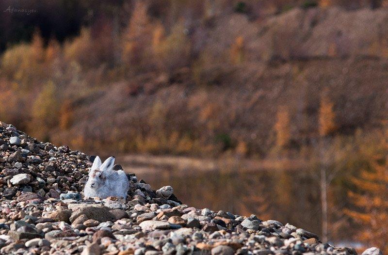 заяц, магадан, колыма, осень, животные,  лапки, уши, глаза, заяц беляк,, antonio