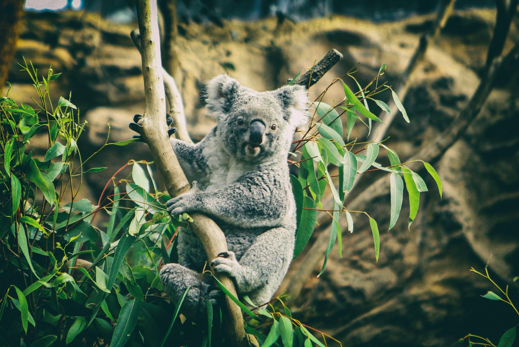 Koala, Lilia Tkachenko