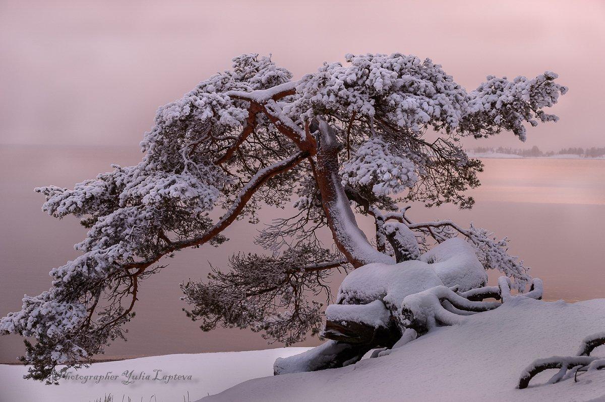 природа,сосна,карелия,красота,зима, Юлия Лаптева