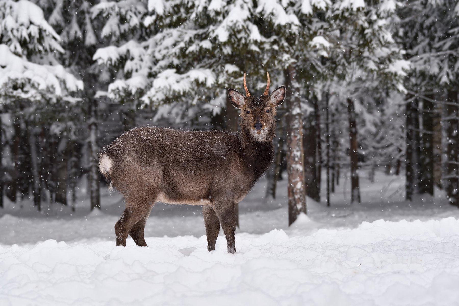 зима,лес,олень, Виталий Полуэктов