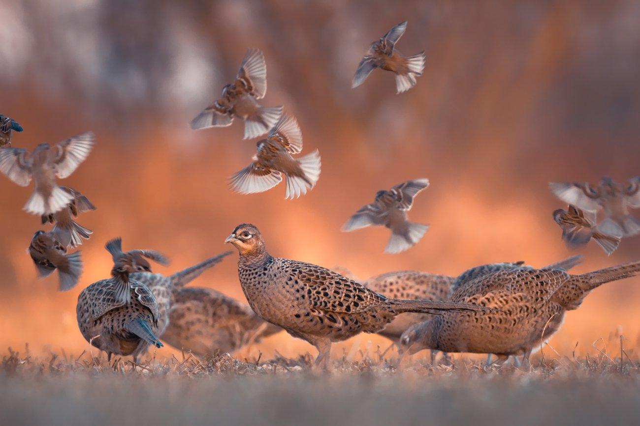 pheasant, sparrow, tree sparrow, Fichna Adam