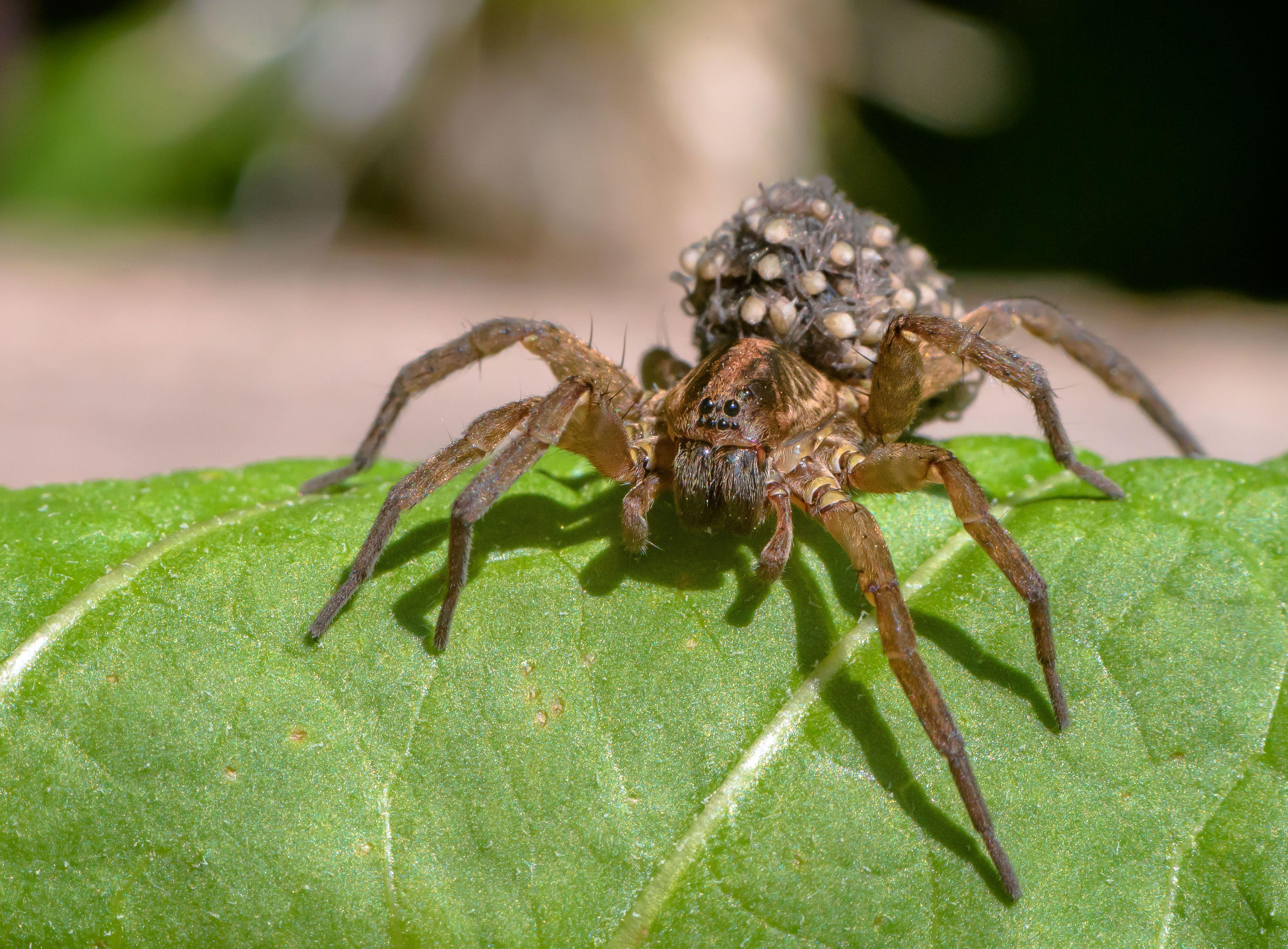 материнский инстинкт, паук-волк, паук, самка паука, паучата, июнь, макро, паукообразные, членистоногие, забота о потомстве, lycosidae, Соварцева Ксения