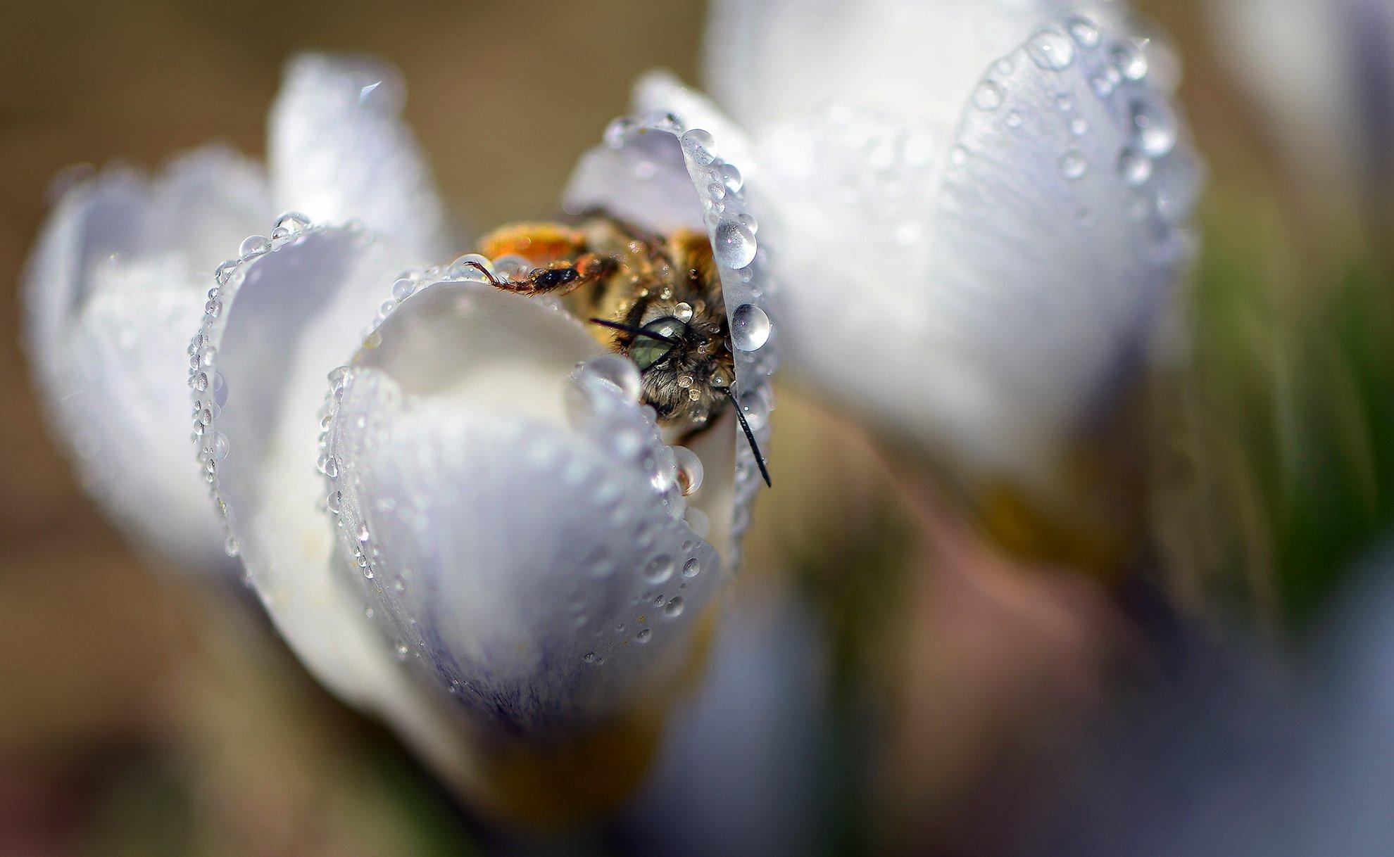 природа, макро, весна, цветы, крокус, капли дождя, насекомое, пчела, Неля Рачкова
