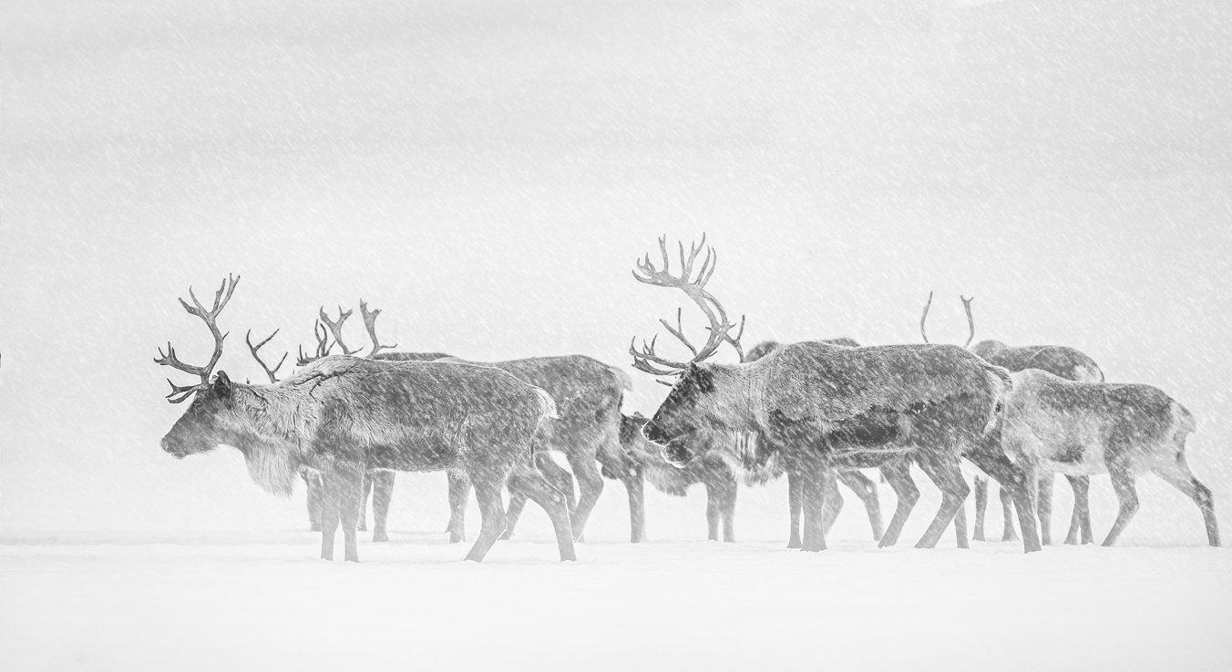 deer, north, winter, frost, cold, komi, pechora,олени,север,зима,мороз,холод,коми,печора,, Игорь Триер