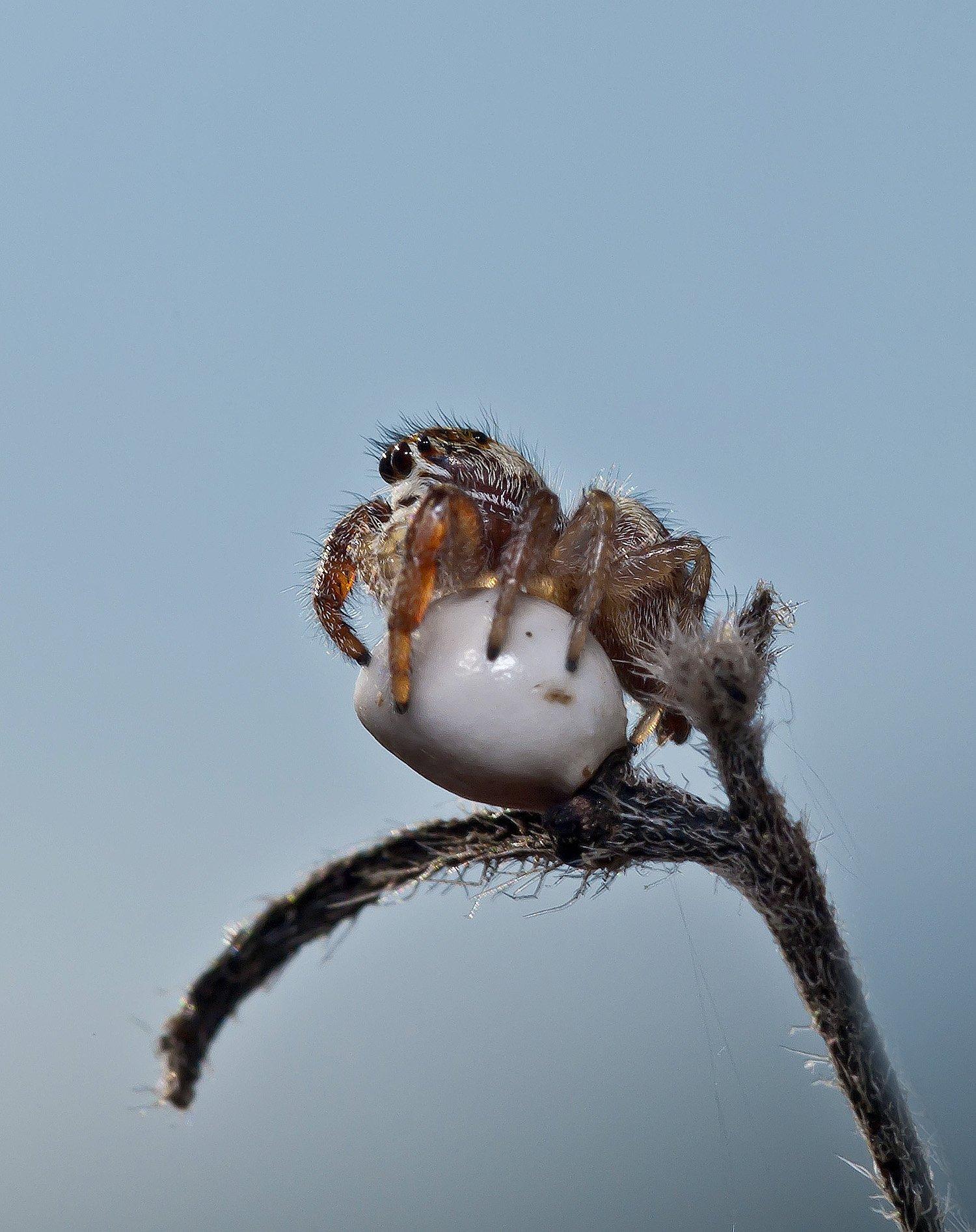 макро, насекомые, пауки, скакунчик, Александр Земляной