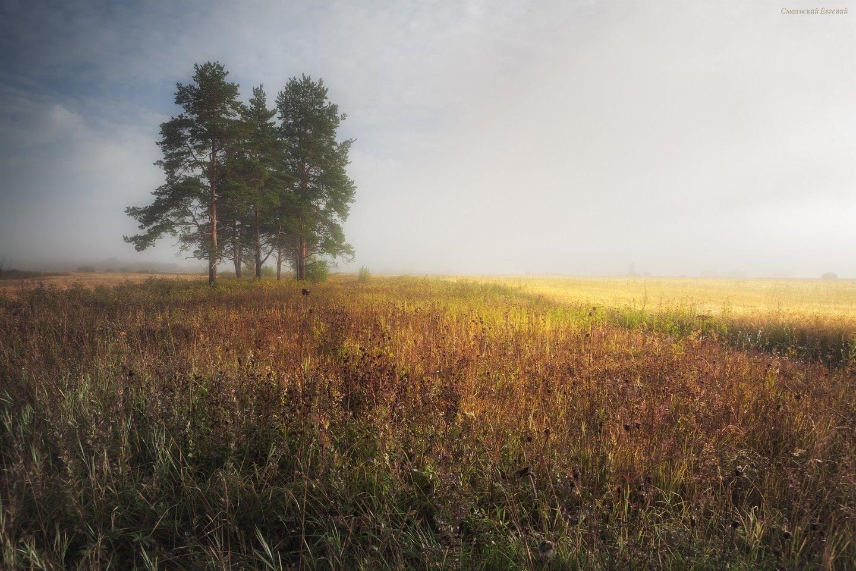 туман, поле, утро, лето, сосны, пшеница, рожь., Смольский Евгений