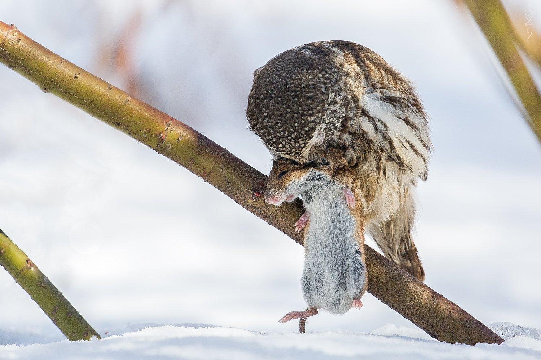воробьиный сыч, полевая мышь, сова, Байбекова Светлана
