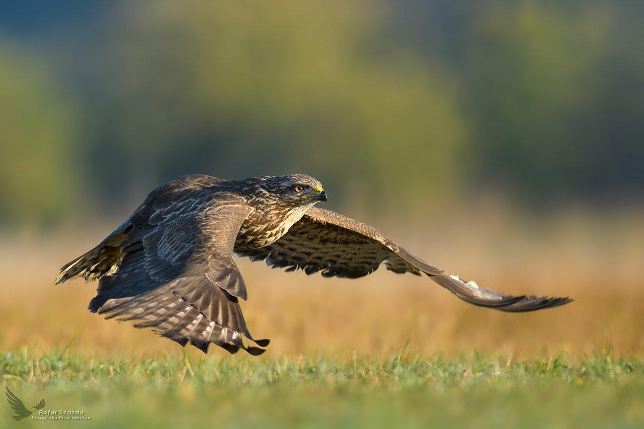birds, nature, animals, wildlife, colors, meadow, flight, sunlight, sunrise, nikon, nikkor, lens, lubuskie, poland, Rafał