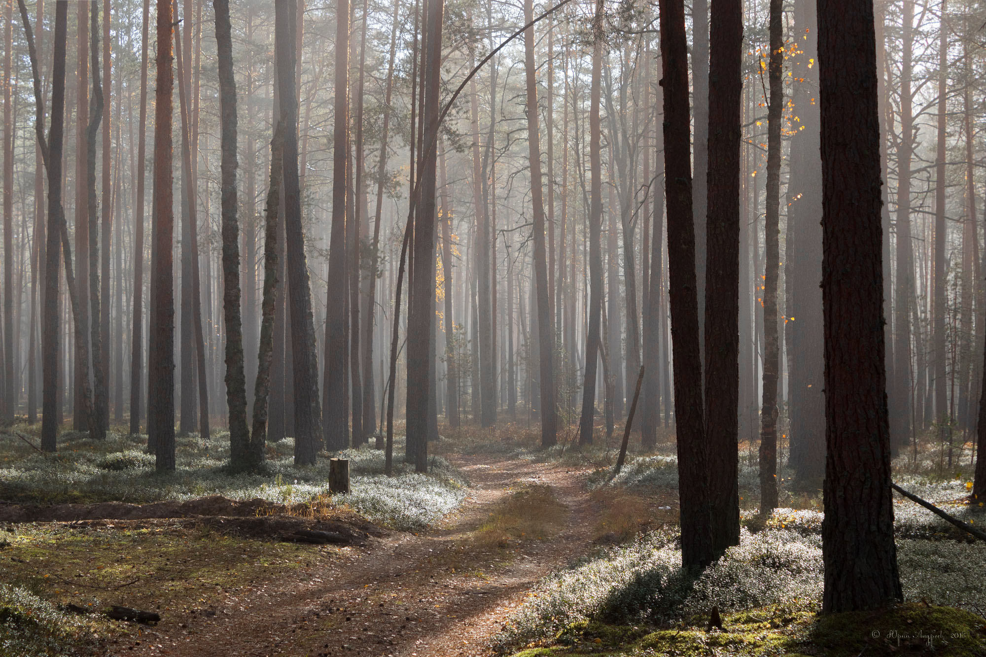 лес сосны бор туман, Юрий Андреев